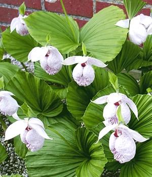 orchideen winterhart gartenorchideen kaufen bei baldur garten. Black Bedroom Furniture Sets. Home Design Ideas