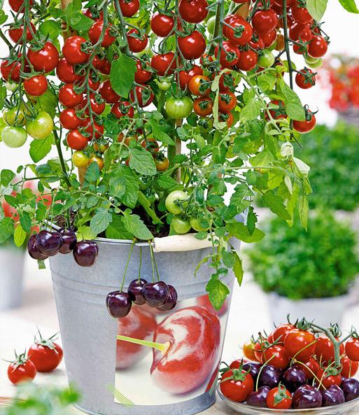 tomaten tutti frutti kollektion tomaten bei baldur garten. Black Bedroom Furniture Sets. Home Design Ideas