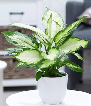 Dieffenbachie ´Camilla´,1 Pflanze