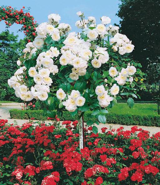 rosen-stämmchen alabaster: 1a-qualität kaufen | baldur-garten,