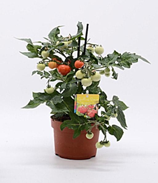 tomatenpflanze mit fr chten 1a qualit t baldur garten. Black Bedroom Furniture Sets. Home Design Ideas