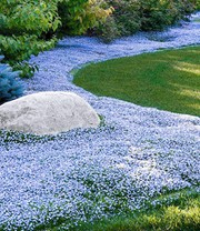 Isotoma 'Blue Foot'