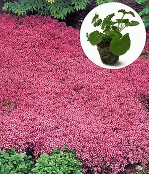 Bodendecker-Thymian,24 Jungpflanzen