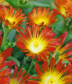 Winterharte Eisblume 'Fire Wonder'