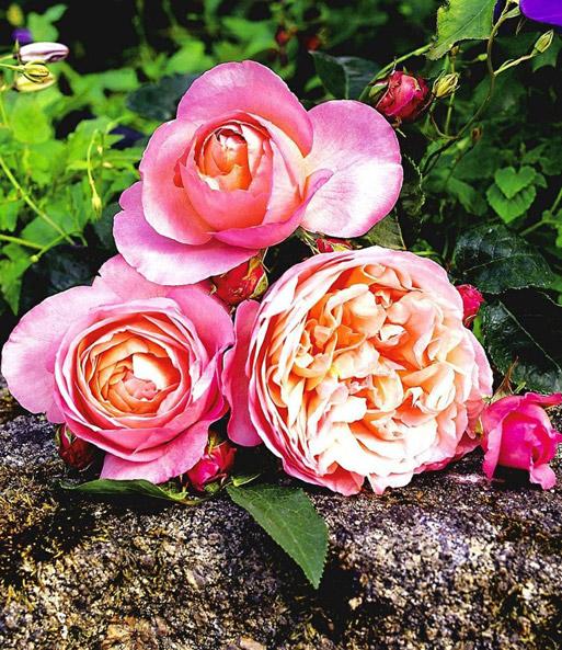 rose der liebe dames de chenonceau baldur garten
