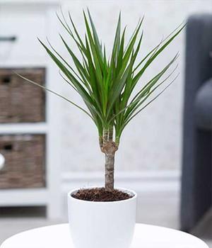 Dracena  - Marginata -  ca. 40 Zentimeter hoch,1 Pflanze