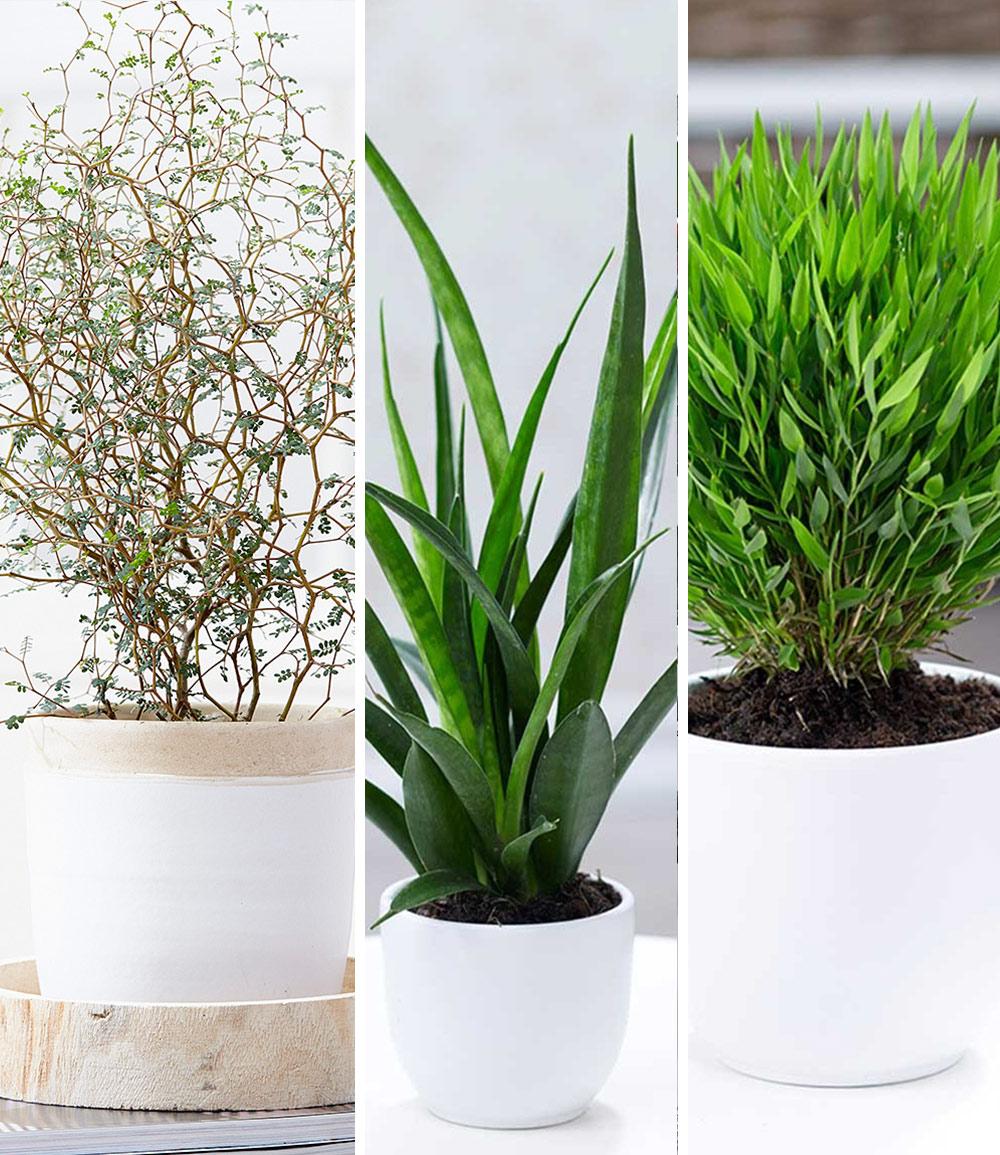 Zimmerpflanzen-Mix 'Fensterbank'