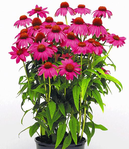 echinacea 39 pow wow 39 easyplant jungpflanzen bei baldur garten. Black Bedroom Furniture Sets. Home Design Ideas