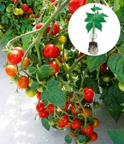 Veredelte Cherry-Tomate 'Baby Boomer' F1