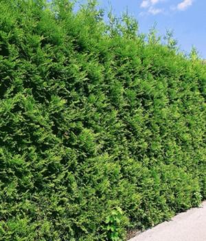 Thuja Lebensbaum  - Brabant - ,1 Pflanze