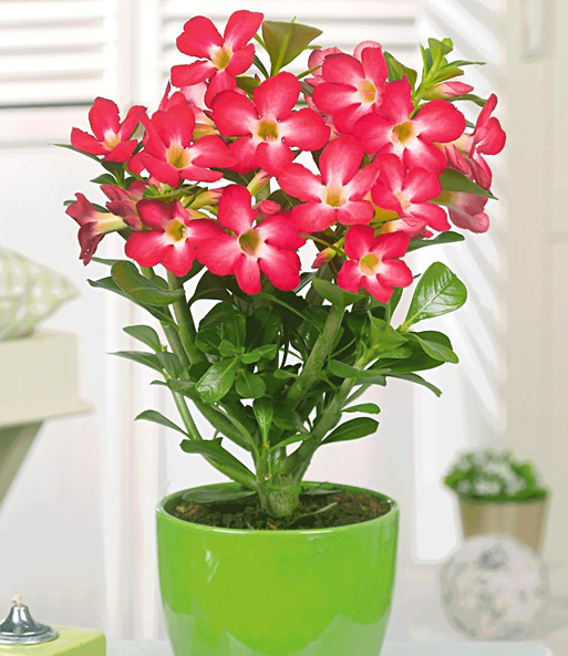 W stenrose 39 rot 39 zimmerpflanzen a z bei baldur garten - Bluhende zimmerpflanzen bilder ...
