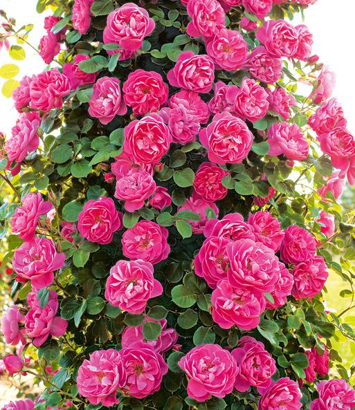 kletterrose allegro 1a rosenpflanzen baldur garten