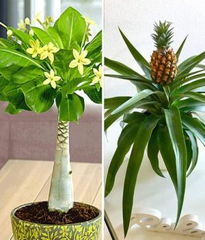 Geliebte Hawaii-Palme richtig pflegen, abschneiden und düngen &TH_05