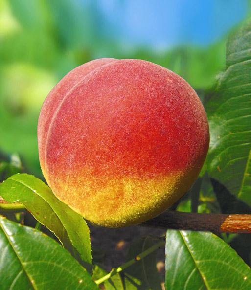 hausgarten pfirsich 39 fruteria 39 pfirsichbaum bei baldur. Black Bedroom Furniture Sets. Home Design Ideas