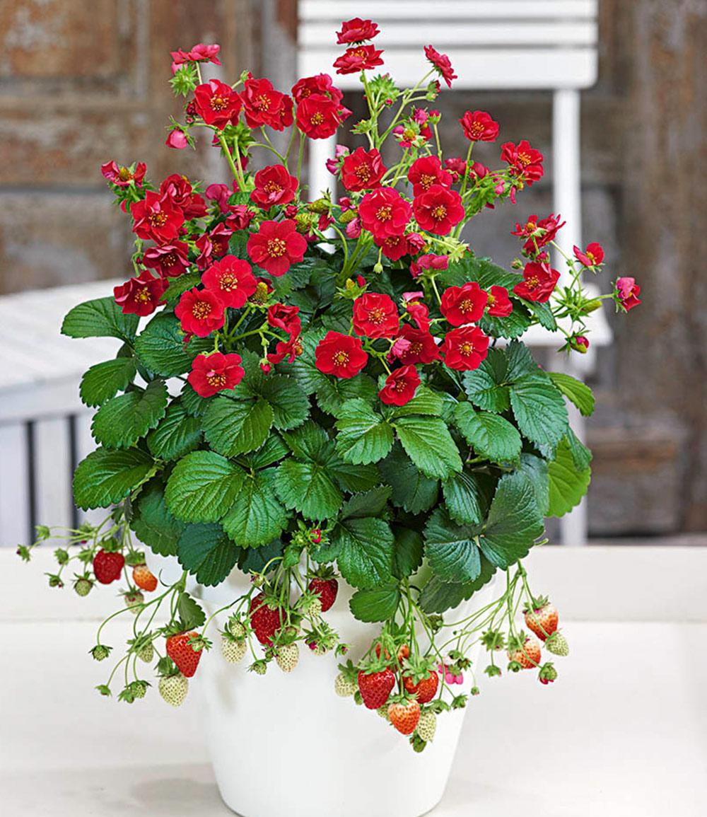 Erdbeere 'Summer Breeze Rose'