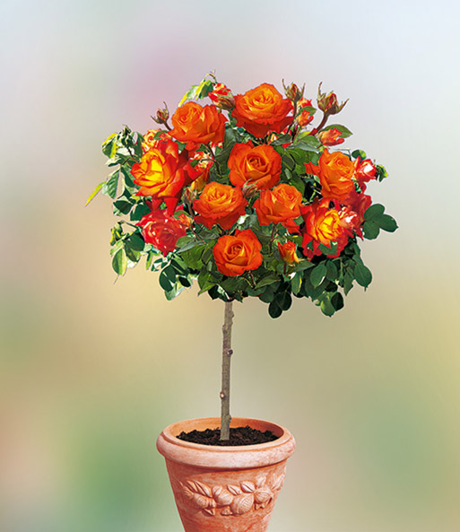 Baldur garten rosen  Rosen-Stamm 'France Libre®': 1A-Rosenpflanzen bestellen | BALDUR-Garten