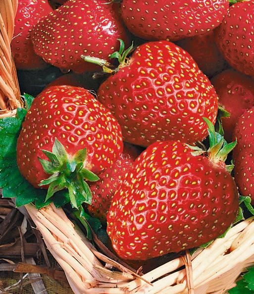 Super Immertragende Erdbeere 'Seascape®' | Erdbeeren bei BALDUR-Garten &EP_83