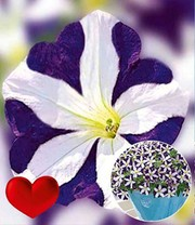 Petunie 'Amore® Purple Heart'
