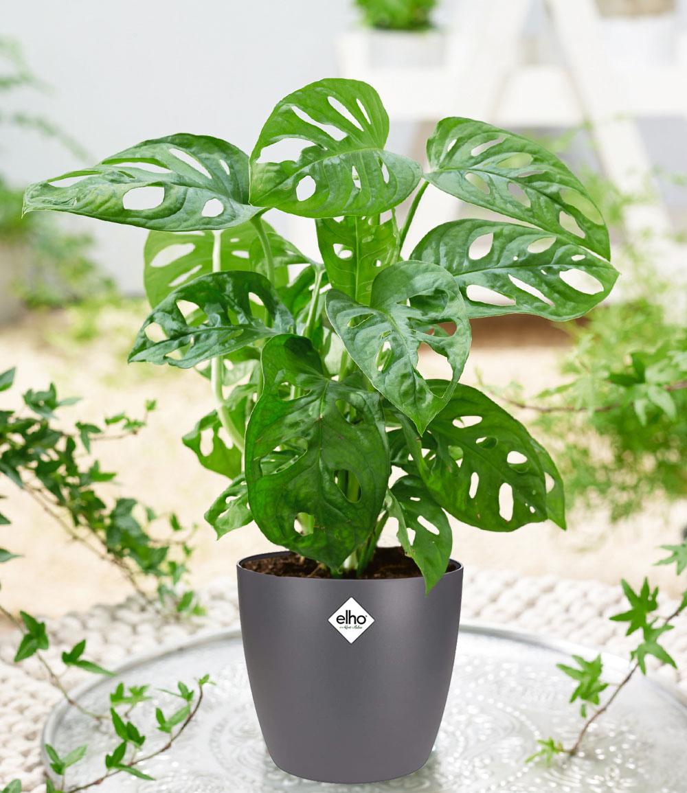 Monstera 'Monkey Leaf' inkl. Elho®-Übertopf 'Grau