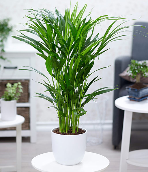 Zimmerpflanzen mix 39 palme xxl 39 1a zimmerpflanzen baldur garten - Zimmerpflanze sonnig ...