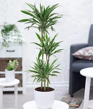 Dracena  - Warneckei -  ca. 120 Zentimeter hoch,1 Pflanze