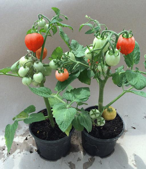 herz tomaten pflanze heartbreakers naschgem se bei. Black Bedroom Furniture Sets. Home Design Ideas