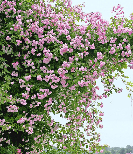 rambler rosen kollektion blau und r rambler rosen bei