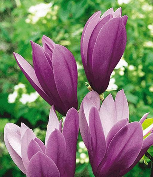 magnolie black beauty 1a qualit t kaufen baldur garten. Black Bedroom Furniture Sets. Home Design Ideas