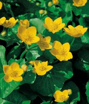 Sumpfdotterblume,3 Pflanzen