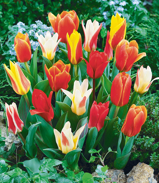 tulpen pflege tulpen pflege pflanzen d ngen schnitt. Black Bedroom Furniture Sets. Home Design Ideas