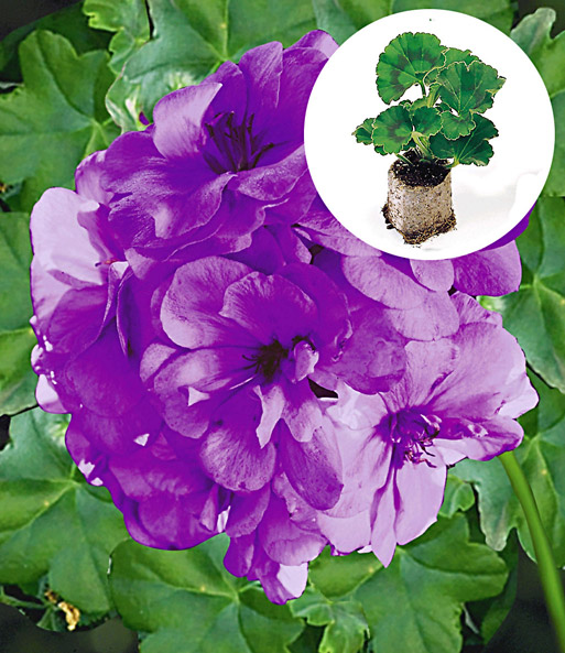 blaue geranie 39 blue sybil 39 pac geranien jungpflanzen. Black Bedroom Furniture Sets. Home Design Ideas