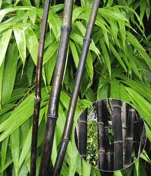 Bambus Pflege Tipps Zur Pflege Von Winterhartem Bambus