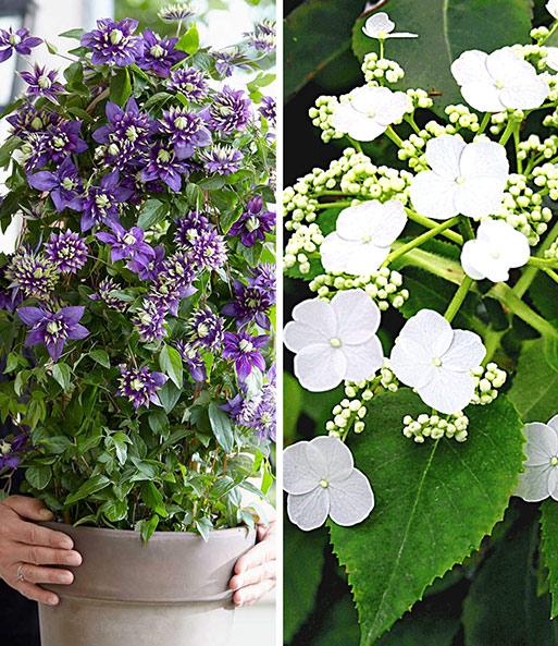 Ganz und zu Extrem Winterharte Kletterpflanzen-Kollekt   Kletterpflanzen bei BALDUR &PH_68