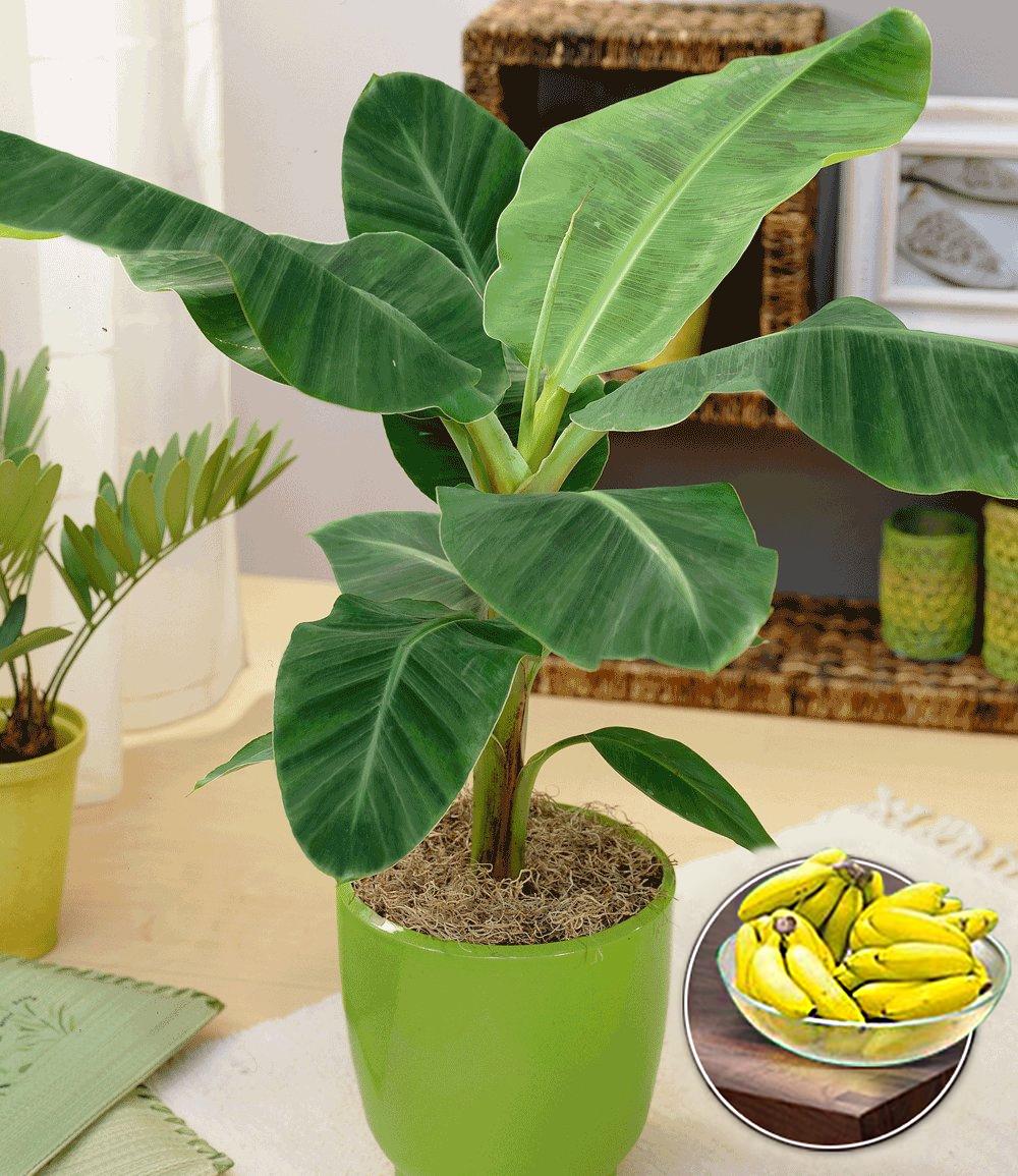 Musa Banana Tropicana