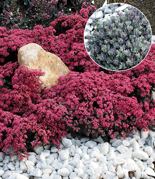 sedum 39 dazzleberry 39 polsterstauden bei baldur garten. Black Bedroom Furniture Sets. Home Design Ideas