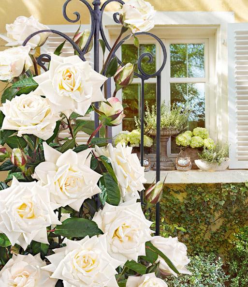 kletter rose 39 blanche colombe 39 1a rosenpflanzen. Black Bedroom Furniture Sets. Home Design Ideas