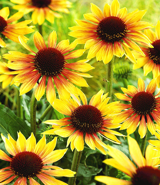 duft echinacea 39 golden summer 39 gartenstauden bei baldur. Black Bedroom Furniture Sets. Home Design Ideas
