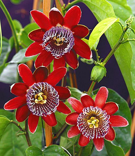 passionsblumen pflege: standort & düngung, Garten und Bauten