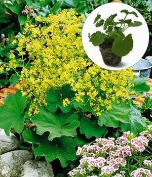 Gelbe Alchemilla,12 Jungpflanzen