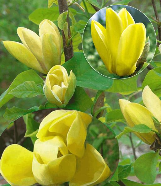 duft magnolie yellow bird 1a qualit t kaufen baldur garten. Black Bedroom Furniture Sets. Home Design Ideas