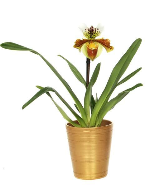 Frauenschuh orchidee im gold kerami bl hende zimmerpflanzen bei baldur garten - Asiatische zimmerpflanzen ...