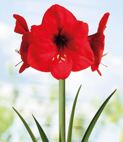 amaryllis im topf 39 red lion 39 bl hende zimmerpflanzen bei baldur garten. Black Bedroom Furniture Sets. Home Design Ideas