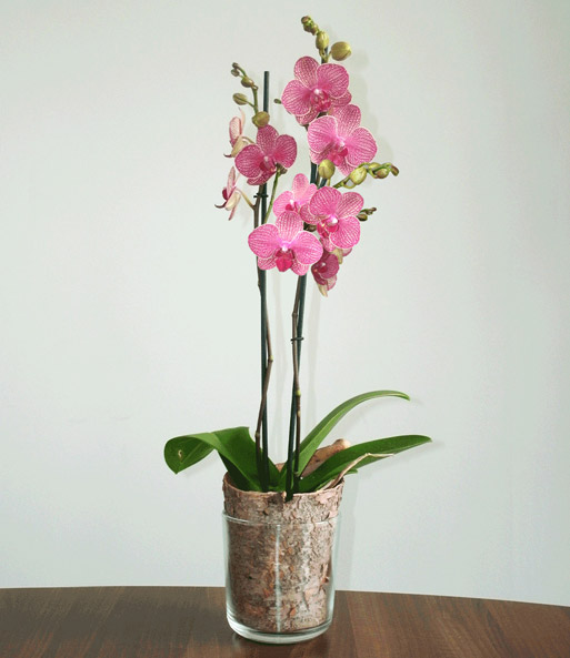 phalaenopsis orchidee gesprenkelt im glas baldur garten. Black Bedroom Furniture Sets. Home Design Ideas