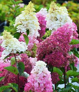 Freiland-Hortensie  - Fraise Melba&reg, - ,1 Pflanze