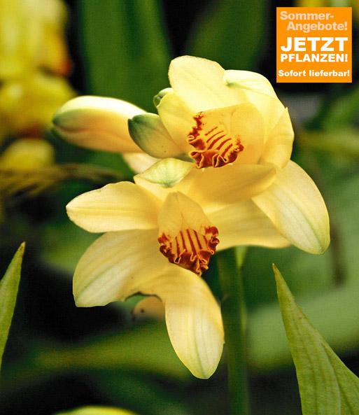 garten orchidee phaius flavus 1a qualit t baldur garten. Black Bedroom Furniture Sets. Home Design Ideas