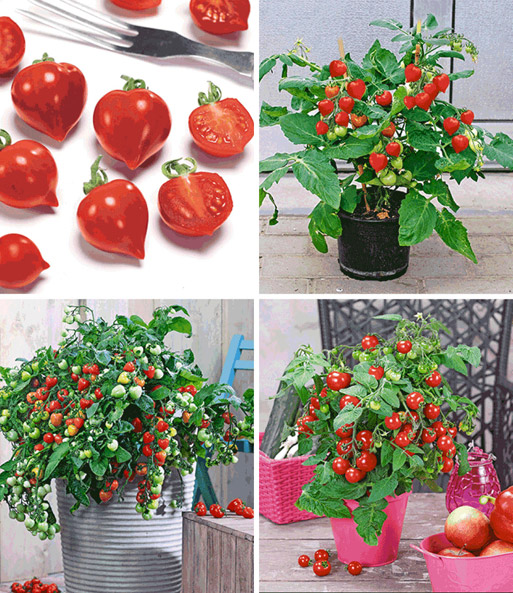topf tomaten kollektion tomaten bei baldur garten. Black Bedroom Furniture Sets. Home Design Ideas