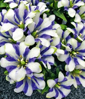 Berg-Enzian ´Blau-Weiß´,1 Pflanze