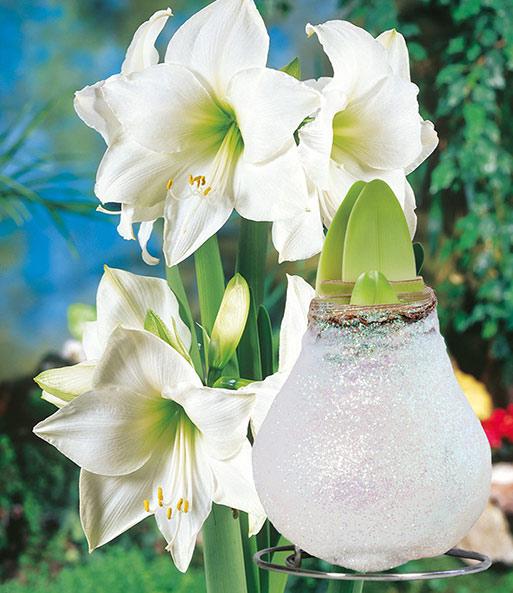 wei e wachs amaryllis 39 touch of gla amaryllis bei baldur garten. Black Bedroom Furniture Sets. Home Design Ideas