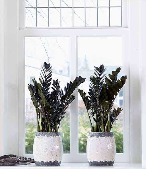 beautiful schwarze zamioculcas uravenu with zamioculcas giftig kind. Black Bedroom Furniture Sets. Home Design Ideas