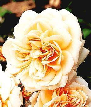 Rose der Liebe ´Jardins de l´ Essonne&reg,´,1 P...